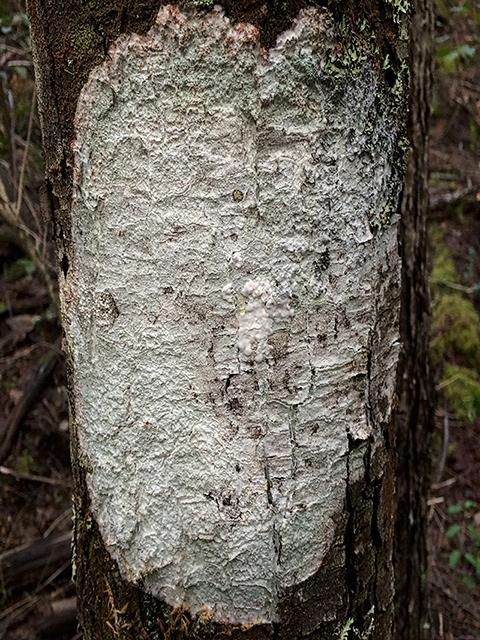Argentina Tree Face
